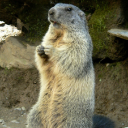 Marmotte94
